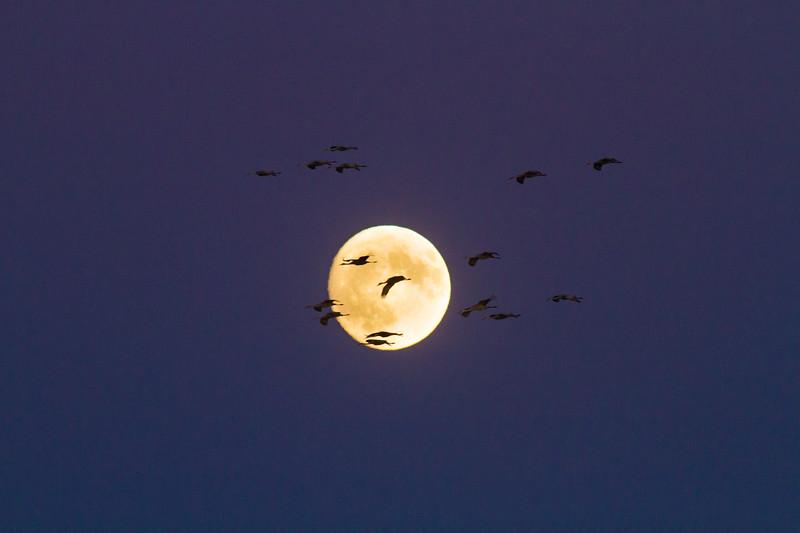 Sandhill Crane full moon fly in flight Crex Meadows Grantsburg WI IMG_2205.jpg