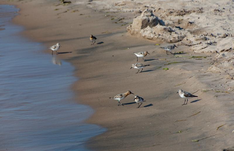 Semipalmated-sandpipers-wasaga-beach-Ottawa.jpg