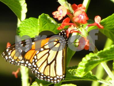 porterweeds-delight-visitors-feed-monarchs-in-idea-garden