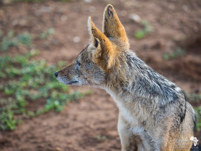 Black Backed Jackal Portrait