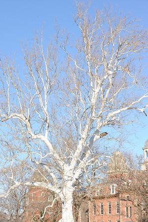 26549 Sycamore Tree