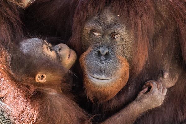 Orangutan's Parenting