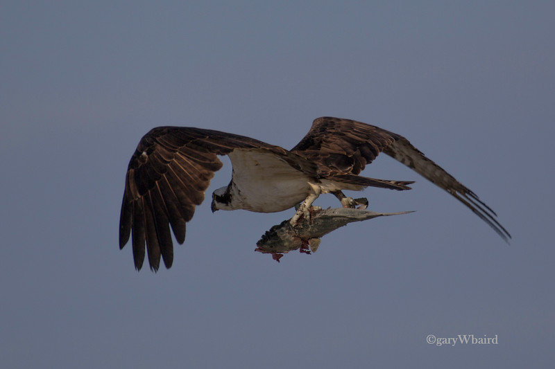 Osprey with old fish.jpg