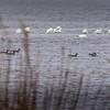 DucksGreatIbisBackBayNationalWildlifeRefuge-003