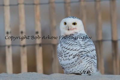 Snowy Owls 2013