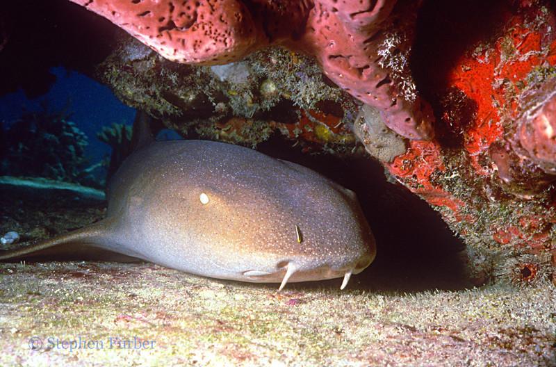 NURSE SHARK - Lie on sand under ledges and overhangs