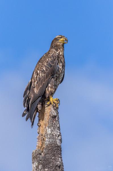 Bald eagle (immature adult)