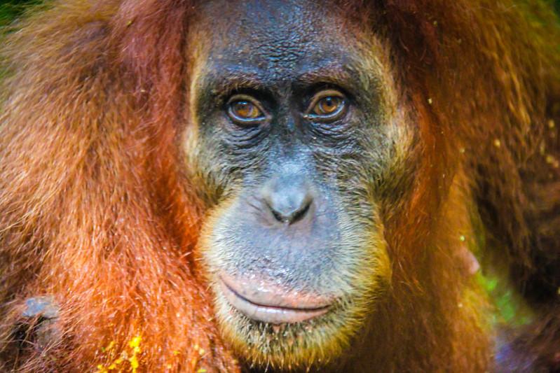 Southeast Asia adventures Indonesia Orangutans Sumatra