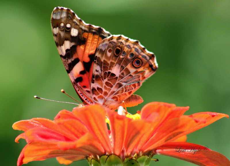 IMG_6611 PS BUCKEYE BUTTERFLY signed.jpg