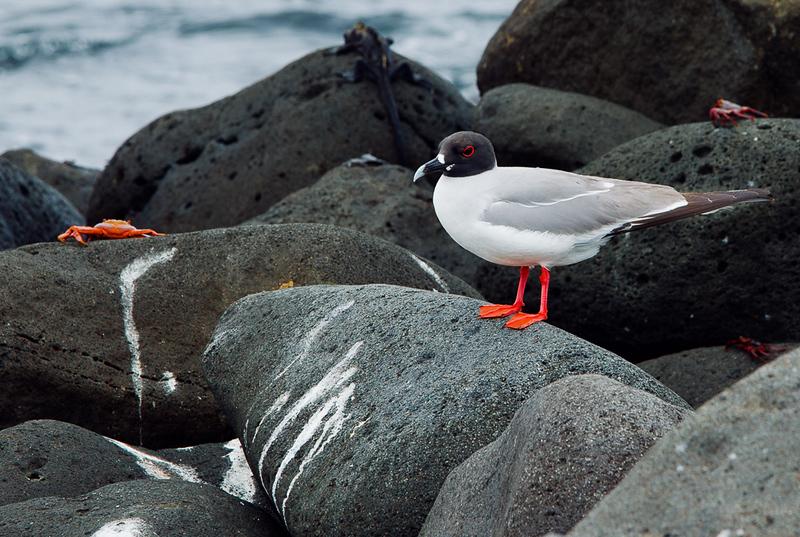 Swallow-tailed Gull_John Hoffman.jpg