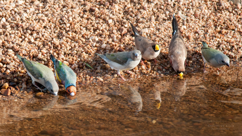 Gouldian and Masked Finches, Kathrine, NT, Sept 2010-1.jpg.jpg