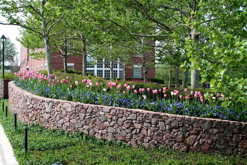 Tulips - Chesapeake Energy