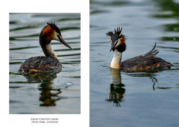 Divers and grebes
