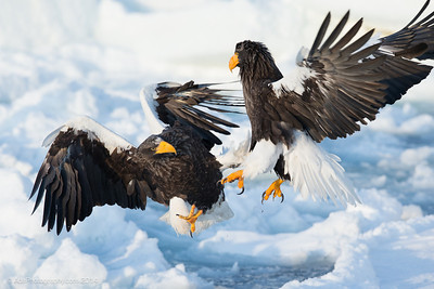 Wild Conflict