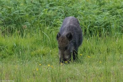 Wild Boar - Vildsvin