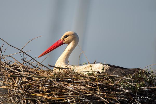 Cegonhas (storks)