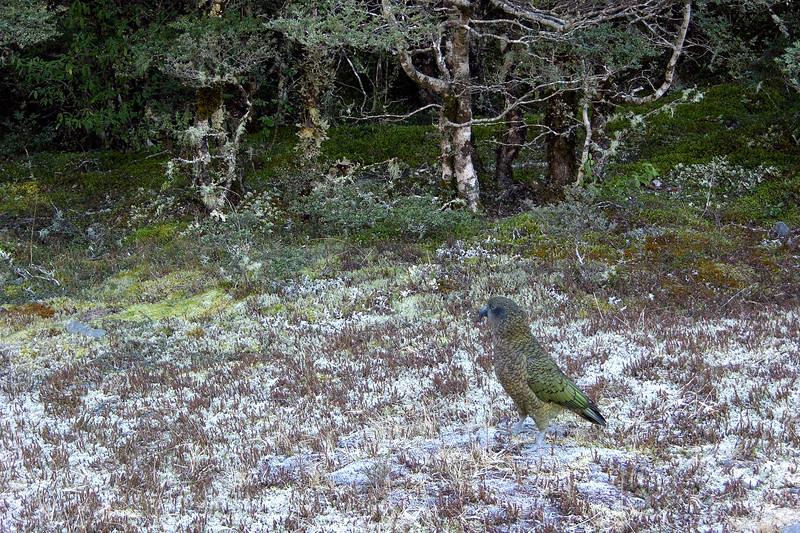 DSCN9851 NZ Mountain Parrot Arthur Pass thruNEF PS-.jpg