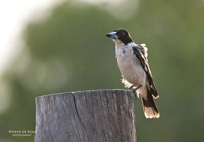 Black-backed Butcherbird (Cracticus mentalis)