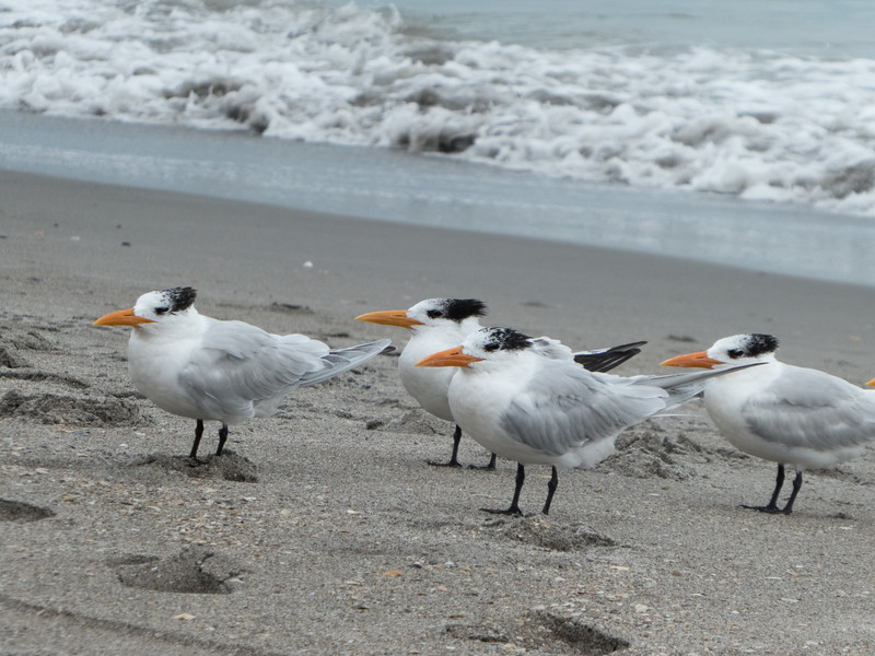 Royal Terns, Cocoa Beach, Florida