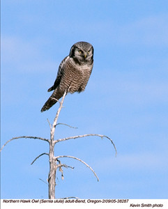 NorthernHawkOwl38287.jpg