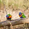 """""""Cereal Killers"""" - Rainbow Lorikeets"""