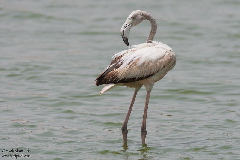 Greater Flamingo - Kutch, Gujrat, India