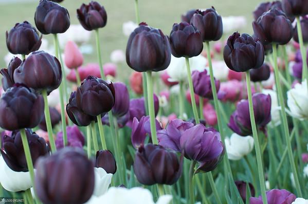 05-21-18 Tulips