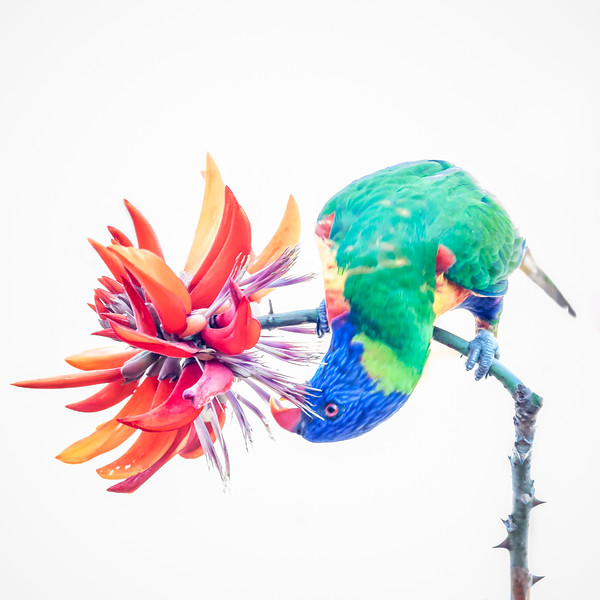Lorikeet eating a Flame Tree Flower