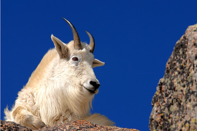 Very Large Gallery of  Rocky Mountain Goats.