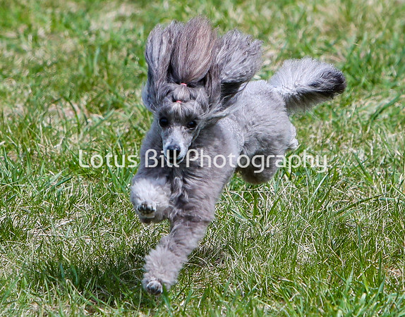 Toy Poodle DH