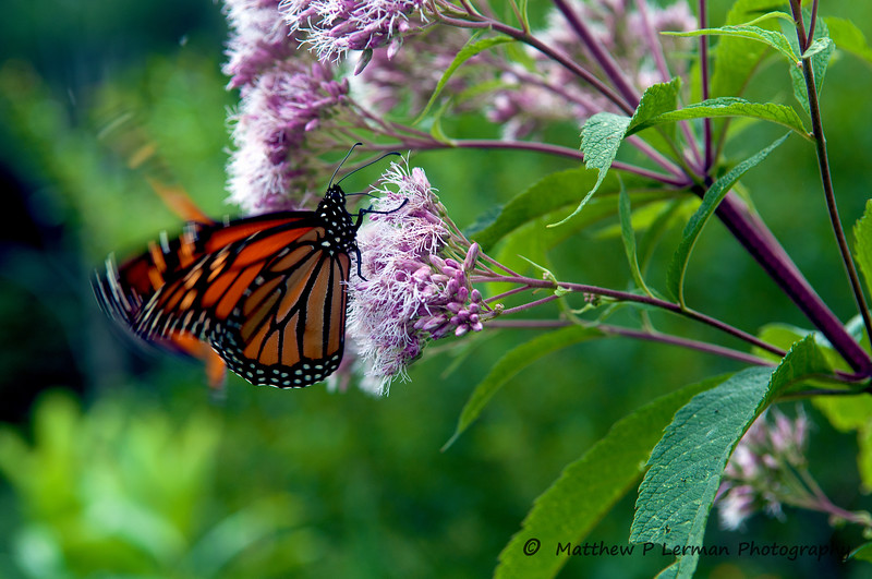 324 Insect Monarch Butterfly 08 15 12_4227.jpg