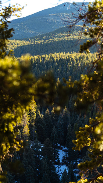 Maxwell Falls Golden Evergreens story-3.jpg