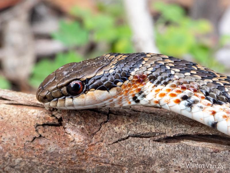 20190809 Spotted Skaapsteker (Psammophylax rhombeatus) from Milnerton