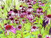 Close view of beautiful garden of purple cone flowers. Abstract photograph painting artwork photography photo photographs Abstract photograph painting artwork photography photo photographs.
