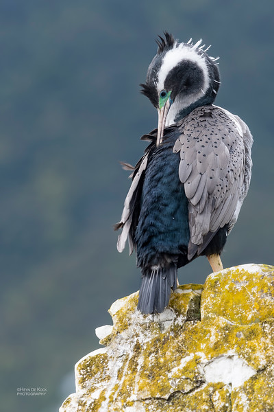 Spotted Shag, Greymouth, SI, NZ, Sep 2018-27.jpg