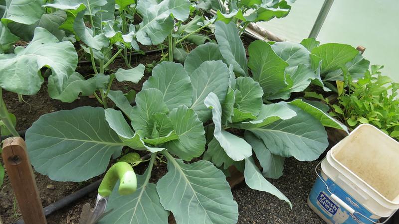 Cabbage-13th.jpg