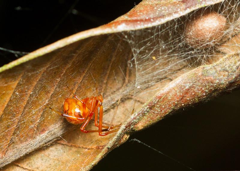 Cobweb spider (Theridiidae) with egg sac from Panama.