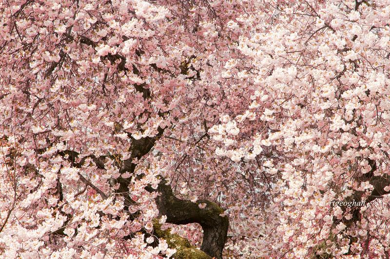 April 16_BranchBrookCherryBlossoms_7398.jpg