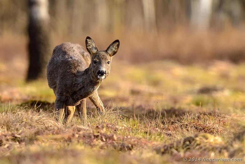 Rådyr (Capreolus capreolus - Roe Deer) hun, der fouragerer - Lyngby Åmose, apr. 2014