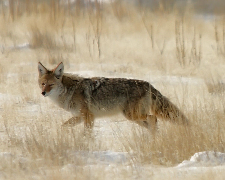 Winter Coyote, Antelope Island, Utah