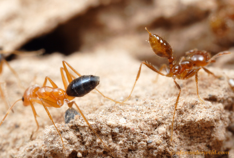 Forelius nigriventris and Solenopsis invicta.  A juxtaposition of two very different defensive strategies.  The fire ant (at right) brandishes her venom on the tip of her stinger, while the opposing Forelius worker aims hers as a volatile spray.  Santiago del Estero, Argentina