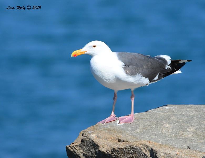 Western Gull - 3/6/2015 - Oceanside Harbor jetty