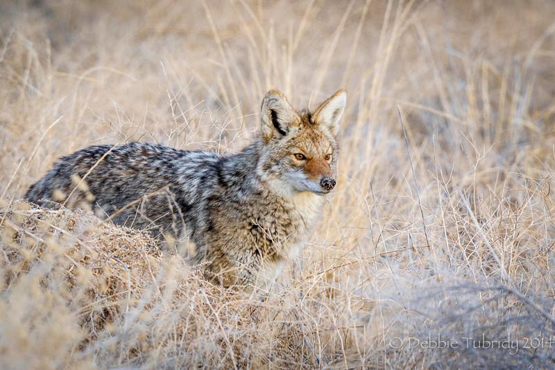 Coyote Stance Antelope Island State Park Utah © 2014