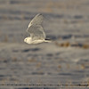 Snowy Owl - Wheatland County, Alberta