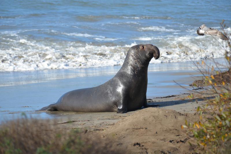 ano-nuevo-elephant-seals-2013 38.jpg