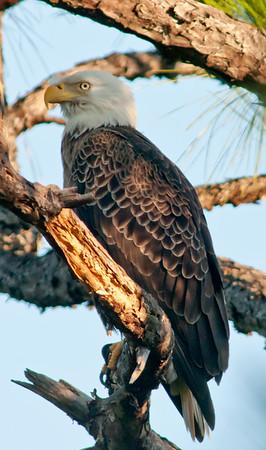 Palm Bay Eagle Nest - 12/04/10