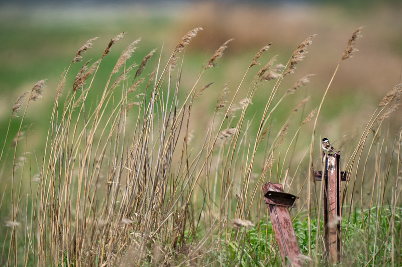 potrzos | reed bunting | emberiza schoeniclus
