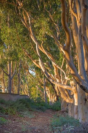 20191026   Nikon Z7   Eucalyptus   Espola Road