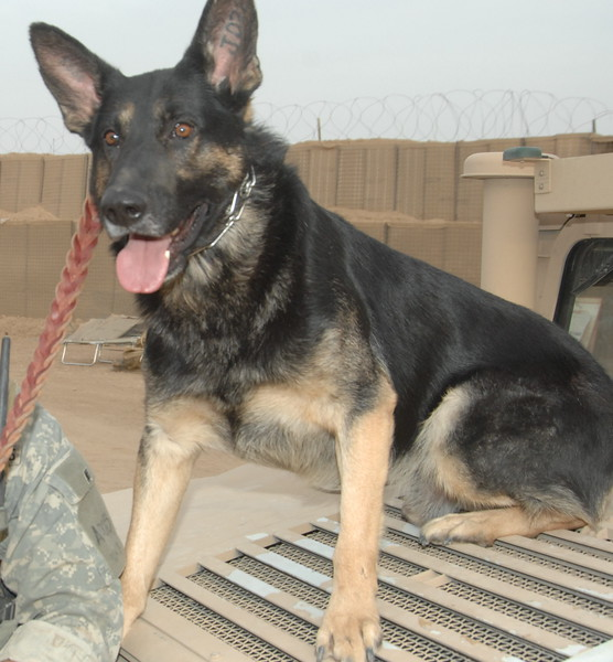 "Ito, U.S. Marine Corps, pet of loving owner Jennifer Cain. Jennifer says, ""Ito served three tours in Iraq in support of Operation Iraqi Freedom. He worked and protected many military branches such as: Navy, Army and The United States Marine Corps. Most notably, in 2007, Ito saved the life of 9 Marines. Ito and his handler were awarded the Army Commendation medal as well as the Navy and Marine Corps Achievement Medal for Ito's actions while in Iraq. Ito retired in late 2011."""