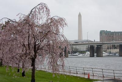 2009 Cherry Blossom Festival
